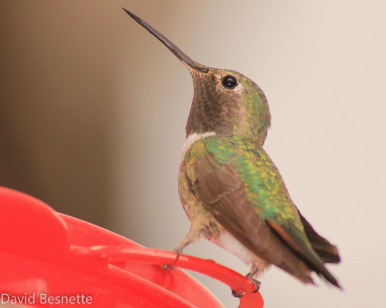 Hummingbird in St. Elmo